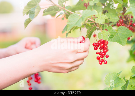 Hand and redcurrants on bush. Woman picking berrier in garden. - Stock Photo