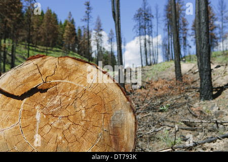 cut Ponderosa Pine tree in recently burned forest (from the 2012 Table Mountain fire), Okanogan-Wenatchee NF, near - Stock Photo