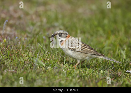 Rufous-collared Sparrow (Zonotrichia capensis) adult feeding on grub Torres del Paine N.P. Southern Patagonia Chile - Stock Photo