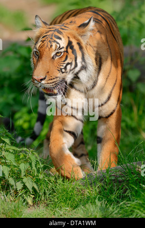Malayan Tiger (Panthera tigris jacksoni), native to the Malay Peninsula, captive, Germany - Stock Photo