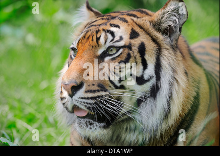 Sumatran Tiger (Panthera tigris sumatrae, Panthera sumatrae), portrait, native to Sumatra, captive, Germany - Stock Photo