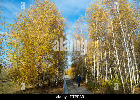 Berlin, Germany , birch trees with autumn-colored leaves in Mauerpark - Stock Photo