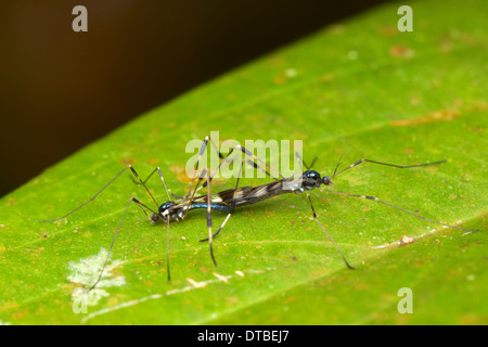 Tipulidae (crane flies) mating. A crane fly is a member of the family of insects in the order Diptera, the true - Stock Photo