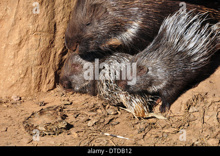 Indian crested porcupine family resting on a hot sunny day. - Stock Photo