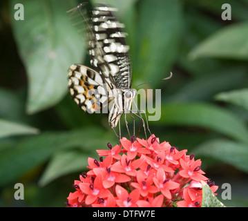 Papilio demoleus, Lime butterfly - Stock Photo