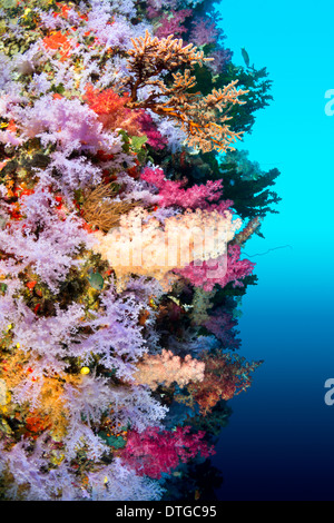A vibrantly colored reef wall in Fiji hosts a large species of hard and soft corals and gorgonian sea fans. - Stock Photo