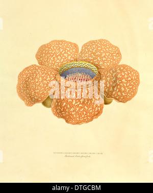 Rafflesia arnoldi, corpse plant - Stock Photo