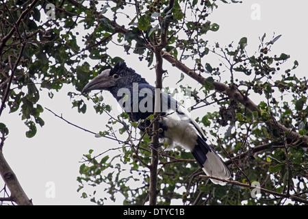 Black and white casqued hornbill in Uganda - Stock Photo
