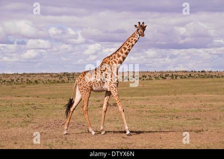 giraffe (Giraffa camelopardalis) adult walking on savanna, Kenya, East Africa - Stock Photo