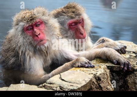 Japanese Snow Monkeys in Nagano, Japan. - Stock Photo