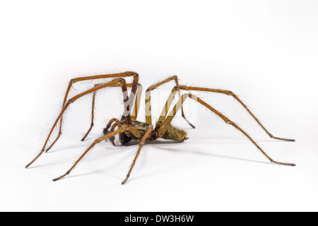 House Spider (Tegenaria duellica) adult male, photographed against a white background, Thirsk, North Yorkshire. - Stock Photo