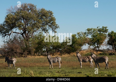 A herd of zebras prowling near Camp Eagle Island Camp by Orient Express , outside the Moremi Game Reserve in Botswana. - Stock Photo