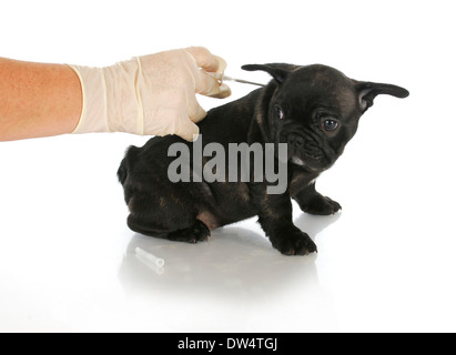 microchipping puppy - french bulldog puppy being microchipped - 8 weeks old - Stock Photo