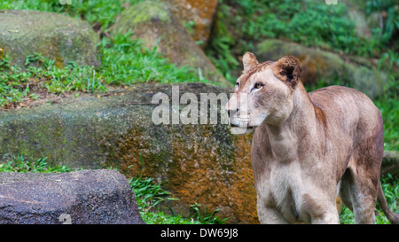 A female lion (panthera leo) looks about her enclosure at the Singapore Zoo. - Stock Photo