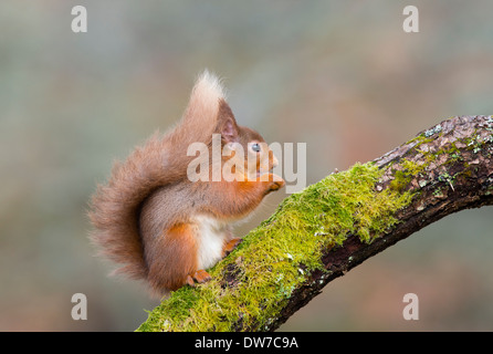 red squirrel sat on a moss covered branch - Stock Photo