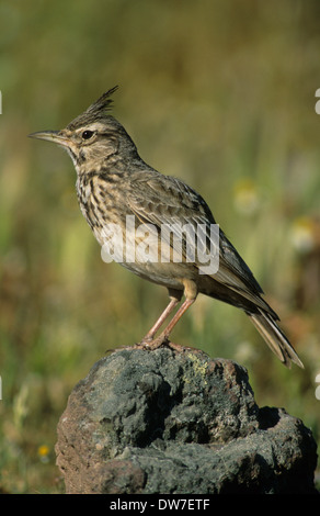 CRESTED LARK (Galerida cristata) adult male perched on rock Lesbos Greece - Stock Photo