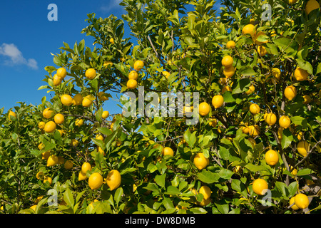 Portugal, the Algarve, a lemon tree in orchards near Silves - Stock Photo