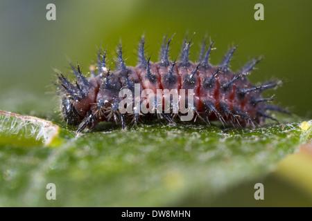 Kidney-spot Ladybird (Chilocorus renipustulatus) full-grown larva on sallow leaf Powys Wales September - Stock Photo