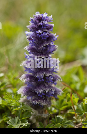 Pyramidal Bugle (Ajuga pyramidalis) flowering growing in high alpine pasture Pontic Mountains Anatolia Turkey July - Stock Photo