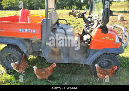 Three Rhode Island Red Chicken in Front of an Orange Tractor on a Farm with Pigs - Stock Photo