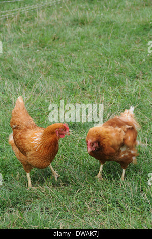 Two Rhode Island Red Chickens Talking and Having a Conversation - Stock Photo