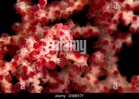 Pygmy sea horse on soft coral. - Stock Photo