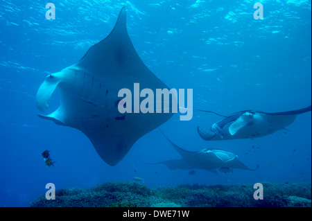 Manta Ray Manta birostris Micronesia Pacific Yap - Stock Photo