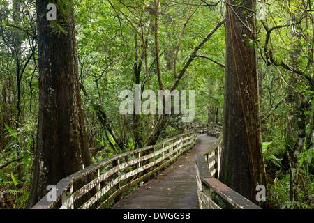 BOARDWALK through old growth Bald Cypress forest (Taxodium distichum), Corkscrew Swamp Audubon Sanctuary, Florida, - Stock Photo