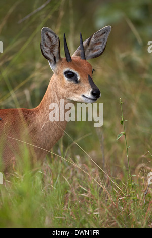 Male Steenbok (Raphicerus campestris), Kruger National Park, South Africa, Africa - Stock Photo
