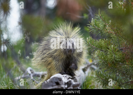Porcupine (Erethizon dorsatum), Medicine Bow National Forest, Wyoming, United States of America, North America - Stock Photo