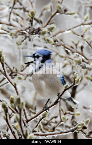 Blue Jay Singing while Perched in Ice Encrusted Star Magnolia Shrub - Stock Photo
