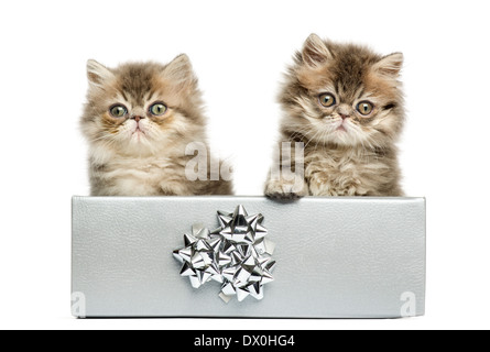 Persian kittens sitting in a silver present box, looking at the camera, 10 weeks old, isolated on white background - Stock Photo