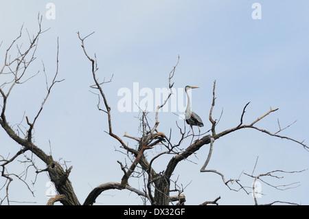 Great Blue Heron perched on deadwood tree. (Ardea herodias) - Stock Photo