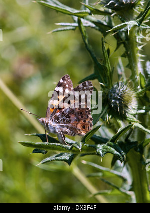 Painted Lady Butterfly  Cynthia cardui - Stock Photo