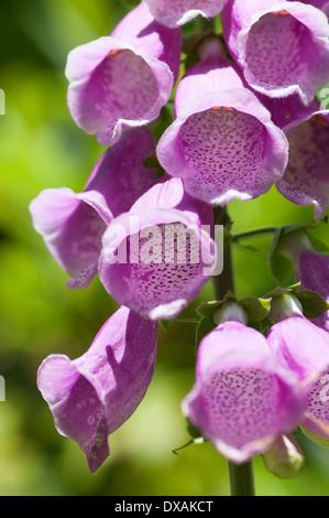 Foxglove, Digitalis purpurea, close up showing pattern inside flowers in sunlight. - Stock Photo