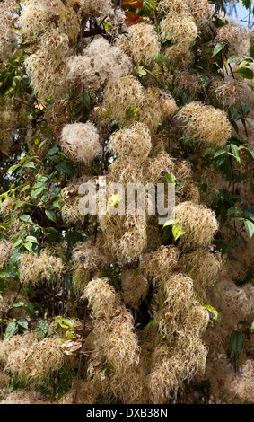 Fluffy seed-heads of wild Clematis, also known as old mans beard - Stock Photo