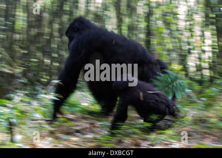 Mountain gorilla (Gorilla gorilla beringei) moving through habitat Parc National des Volcans, Rwanda - Stock Photo