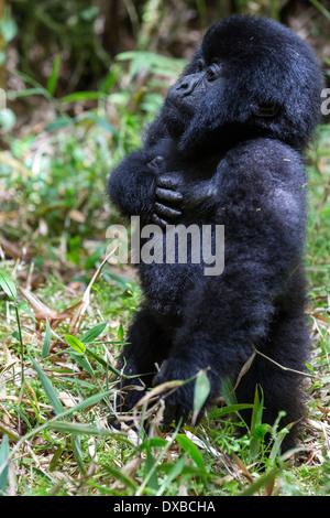 Mountain gorilla (Gorilla gorilla beringei) infant with standing hand on heart, Parc National des Volcans, Rwanda - Stock Photo