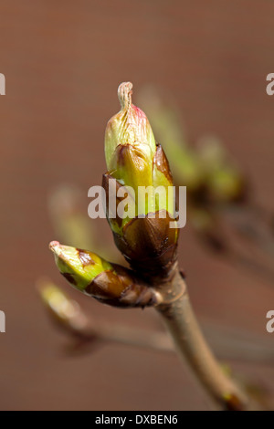 Close-up of a budbreaking chestnut tree (Aesculus hippocastanum) in spring on unfocused background. - Stock Photo