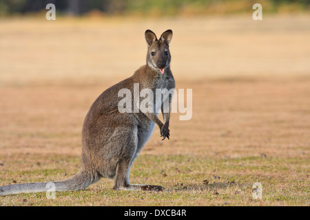 Bennett's Wallaby ( Red-necked ) Macropus rufogriseus showing tongue - Stock Photo
