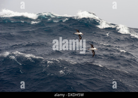 A pair of Black browed Albatross, Thalassarche melanophrys, gliding over large waves, Drake Passage, Southern Ocean - Stock Photo