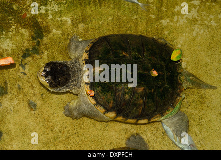 beautiful Common Snapping Turtle (Chelydra serpentina) in terrarium - Stock Photo