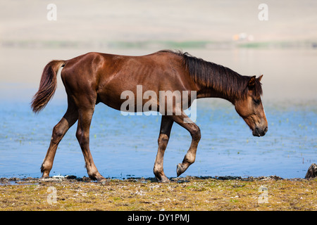 Horse walking on the shore of Lake Khankhoi (Lake Yalga) on Olkhon Island on Lake Baikal, Siberia, Russia - Stock Photo