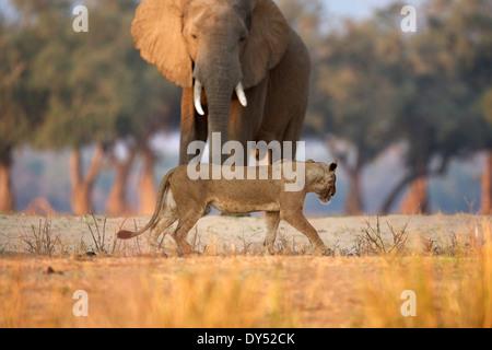 Lioness - Panthera leo - walking past African elephant bull - Loxodonta africana, Mana Pools National Park, Zimbabwe, - Stock Photo