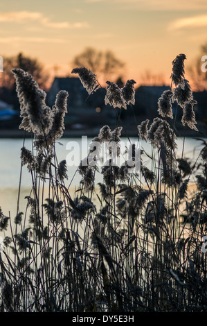 USA, Massachusetts, Gloucester, reeds at dusk - Stock Photo