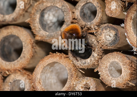 Mason bee / builder bee Osmia cornuta with pollen and nectar entering nest in hollow stem at insect hotel for solitary - Stock Photo