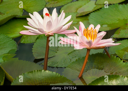 Nymphaea nouchali, Pink Water Lilies - Stock Photo