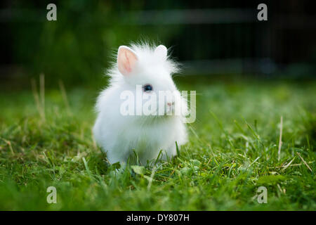 White Lionhead rabbit, young in a meadow - Stock Photo