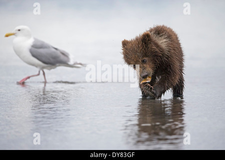 USA, Alaska, Lake Clark National Park and Preserve, Brown bear cub (Ursus arctos) eating a mussel, seagull - Stock Photo