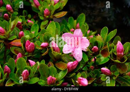 Evergreen Pink Flowering Japanese Azalea in Spring - Stock Photo